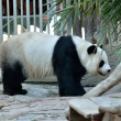 giant panda — Stock Photo #11100093