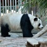 Giant panda — Stock Photo #11100093