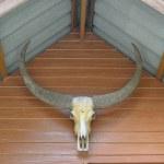 Bull skull — Stock Photo #11100095