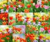 Set tulipano — Foto Stock