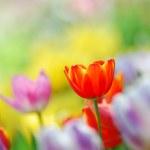 Tulip garden — Stock Photo #11111752