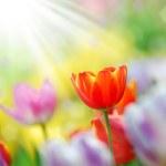 Tulip garden — Stock Photo #11111785