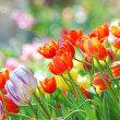 Tulip garden — Stock Photo