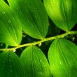 Solomon Seal - Stock Photo