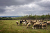 Sheep Pasturing — Stock Photo