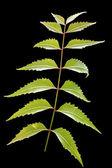 Neem leaf of azadirachta indica isolated on black — Stock Photo