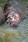 Ippopotamo con corpo enorme e bocca grande relax — Foto Stock
