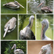 Collection of pelican images in various active roles — Stock Photo