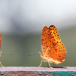 Pair of butterflies with yellow spotted wings — Stock Photo