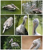 Samling pelican bilder i olika aktiva roller — Stockfoto