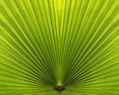 Palm leaf closeup with symmetry and lines — 图库照片