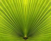棕榈叶特写与对称性和行 — 图库照片