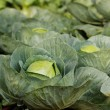 Fresh, homegrown, ripe & healthy organic cabbages — Stock Photo