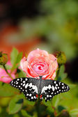 Beautiful spotted butterfly on a pink rose flower — Stock Photo
