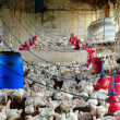 Stock Photo: Poultry farm with many domesticated hen(fowl) being grown for th
