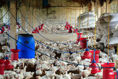 Poultry farm with many domesticated hen(fowl) being grown for th — Stock Photo