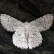 White color exotic moth found in western ghats of south india re — Stock Photo