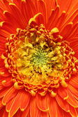 Extreme closeup(macro) photo of beautiful gerbera flower in brig — Stock Photo