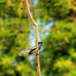 Royalty-Free Stock Photo: Beautiful Oriental Magpie-Robin bird on a twig in southern india