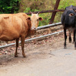 Foto Stock: Two old and weak cows looking hungry, weak and unhealthy standin
