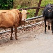 Two old and weak cows looking hungry, weak and unhealthy standin — Stok fotoğraf