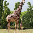 Stock Photo: Two africorigin giraffe standing in enclosure at mysore zo