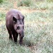 Stock Photo: Baird's tapir walking through forest searching for food. This is