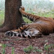 Majestic & beautiful royal bengal tiger which is the biggest of — Stock Photo