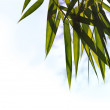 Beautiful spring time young and vibrant bamboo leaves in a garde — Stock Photo #13106951