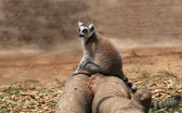 Photo of cute common brown lemur (Eulemur fulvus), or brown lemu — Stock Photo