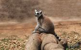 Photo of cute common brown lemur (Eulemur fulvus), or brown lemu — Stock Photo