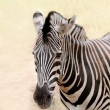 African wild animal zebra's face closeup showing distinctive str - Stock Photo