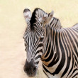 African wild animal zebra's face closeup showing distinctive str — Stock Photo