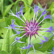 Beautiful perennial cornflower — Stock Photo