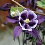 Aquilegia flowers — Stock Photo #11436151