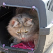Stock Photo: Tabby cat inside a cat carrier