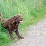 Scruffy brown dog — Stock Photo #11730197