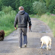 Stock Photo: Man walking dogs