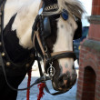 Shire horse — Stock Photo