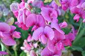 Sweetpea bloemen — Stockfoto