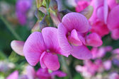 Sweetpea flowers — Stock Photo