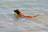 Dog swimming in the sea — Stock Photo