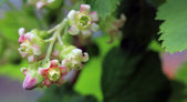 Blossom of currant close-up — Stock Photo