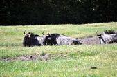 Animals.Some safari park.Antelopes. — Stock Photo