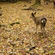 Sika deer on forest floor in autumn — Stock Photo
