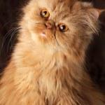Surprised Persian cat — Stock Photo #11033775