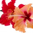 Stock Photo: Pare of red and orange hibiscus flowers, isolated on white
