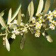 Olive tre flowers in the spring — Stock Photo