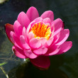 Water lilly — Stockfoto #11137113
