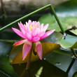 Water lilly — Stock Photo #11768376